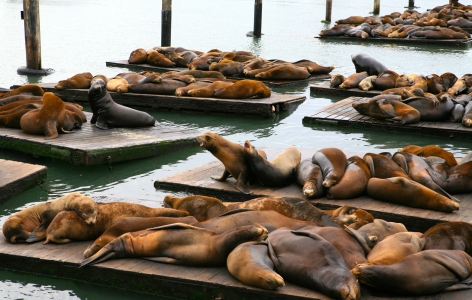 Sea Lions lounging at Pier 39 - a San Francisco Attraction