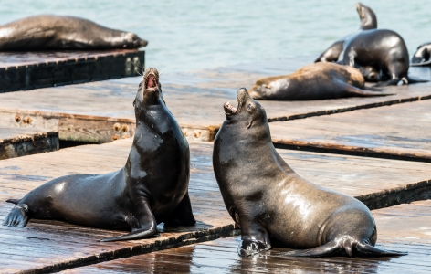 Sea Lions at Pier 39 - a San Francisco Attraction