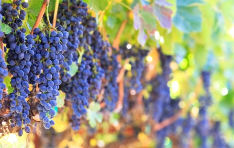 Wine Grapes on the Vine, Napa Valley Restaurants